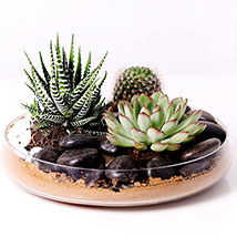 Combo of 3 Plants In Clear Glass Platter: Cactus Plants and Succulents Plants