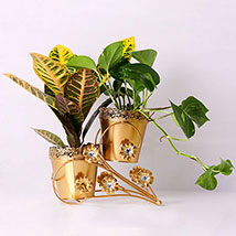 Croton Petra and  Money Plant Combo: Money Tree Plants