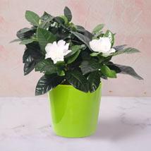 Gardenia Jasminoides Plant In Ceramic Pot: Flowering Plants
