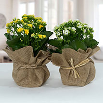 Jute Wrapped Dual Potted Plants: Cactus Plants and Succulents Plants