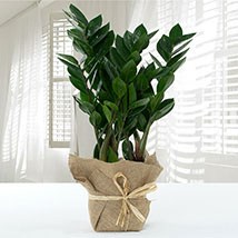 Jute Wrapped Zamia Potted Plant: Cactus Plants and Succulents Plants