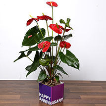 Red Anthurium Plant For Anniversary: Plants in Dubai