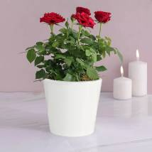 Red Rose Plant: Indoor Plants