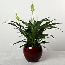Spathiphyllum Plant in Premium Pot: New Arrival Gifts