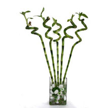 Spiral Bamboo: Lucky Bamboo Plants