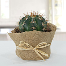 Amazing Cactus with Jute Wrapped Pot: Send Gifts to Umm Al Quwain