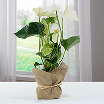White Anthurium Jute Wrapped Potted Plant: Doctors Day Gifts