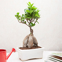 Ficus Bonsai PH: Fathers Day Gifts to Philippines